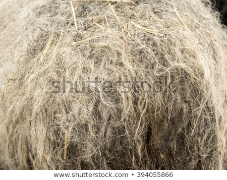Lamb Wool Macro Texture Closeup Cream Color Stock Photo