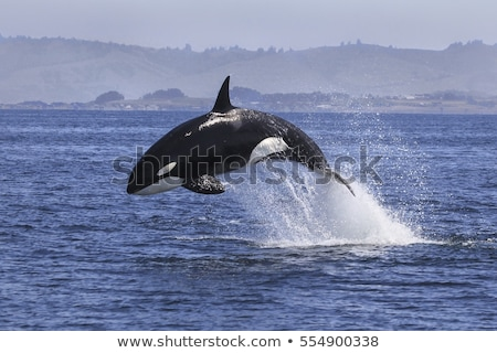 Killer whale jumping Stock photo © c-foto