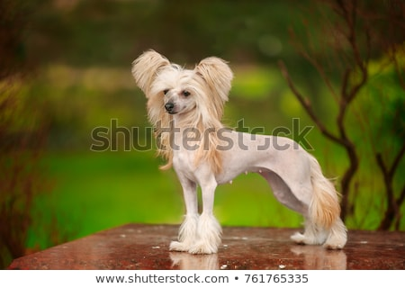 Çin köpek beyaz kadın hayvan stüdyo Stok fotoğraf © cynoclub