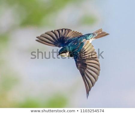 Tree Swallow Stock photo © erbephoto