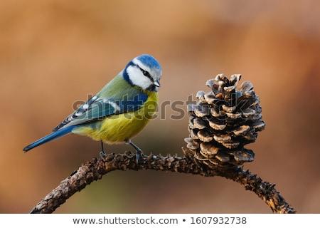 blue tit on branch (parus caeruleus) Stock photo © mady70