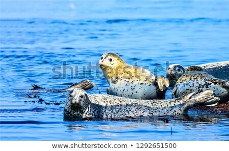 spotted seals phoca largha stock photo © peter_zijlstra