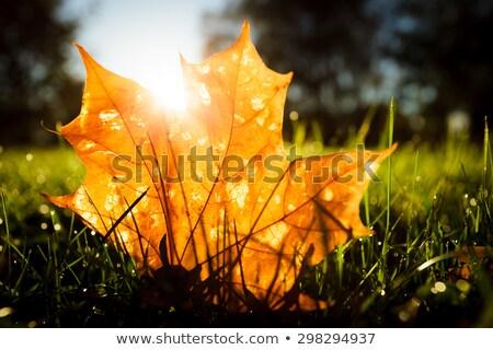 Stock photo: Maple leaf on grass illumited by sunrise light
