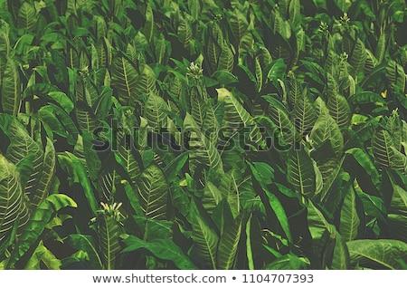 Tabac laisse domaine grand feuilles vertes tropicales Photo stock © Klinker
