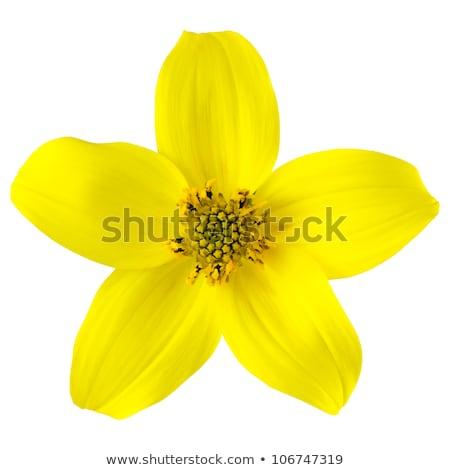 A fresh five-petal orange flower Stock photo © bluering