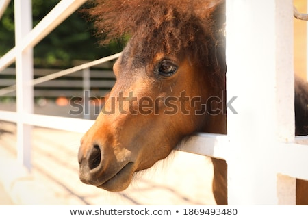 thoroughbred ponies in the paddock  Stock photo © OleksandrO