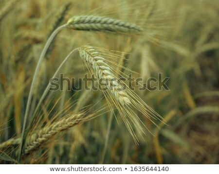 Retro toned rye crops field Stock photo © stevanovicigor