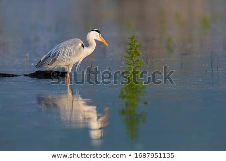 Szürke kócsag madár áll víz közelkép Stock fotó © manfredxy