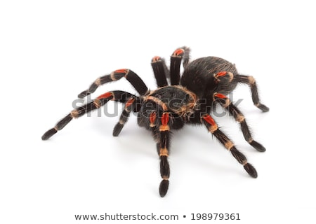 Wild spider on white background Stock photo © bluering
