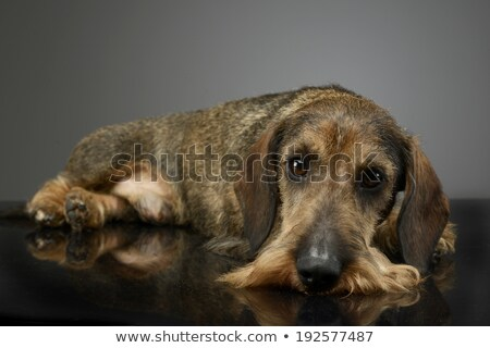 Stock photo: Dachshund lying on the studio table in a dark background