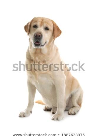 menina · cachorro · animal · de · estimação · cão · jogar · beijando - foto stock © pressmaster
