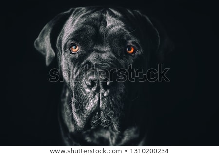 Cute puppy Cane Corso in white background photo studio Stock photo © vauvau