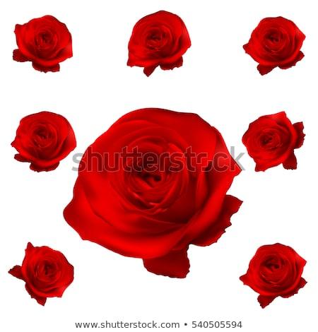 conjunto · rosas · vermelhas · isolado · branco · belo · rosa · vermelha - foto stock © beholdereye