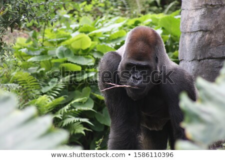 Baby Mountain gorilla chewing on a stick. Stock photo © simoneeman