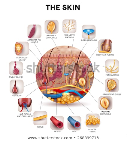 Skin anatomy in the round shape, detailed illustration Stock photo © Tefi