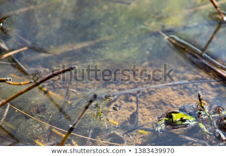 Two toads mate in a puddle Stock photo © Kotenko