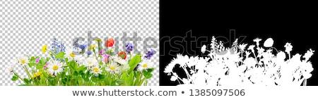 papatya · çiçekler · beyaz · tablo · bahar - stok fotoğraf © neirfy