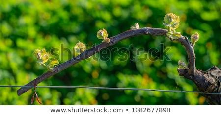 nieuwe · bug · bladeren · begin · voorjaar · wijnstok - stockfoto © freeprod