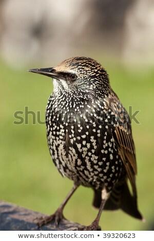 Olhando câmera cinza jardim pássaro urbano Foto stock © taviphoto