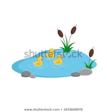 Drie zwemmen vijver illustratie natuur achtergrond Stockfoto © colematt
