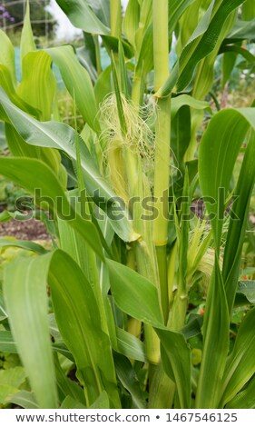 Two corn cobs growing on a Fiesta sweetcorn plant  Stock photo © sarahdoow