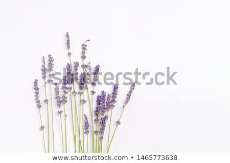 campo · de · lavanda · detalhes · planta · flor - foto stock © lichtmeister