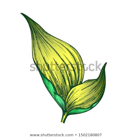 Rhapis Robusta Tropical Leaf Color Hand Drawn Vector Stock photo © pikepicture