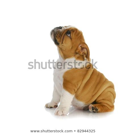 Studio shot of an adorable English bulldog puppy Stock photo © vauvau