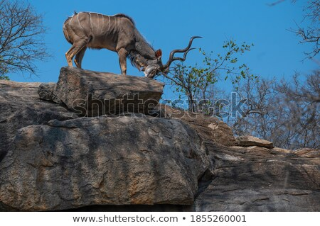Greater kudu bull with calves Stock photo © TanArt