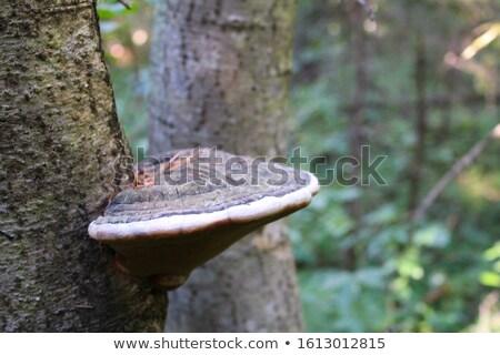 シェルフ 菌 画像 キノコ 成長 ストックフォト © erbephoto