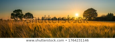 Gerst veld zon stralen voedsel natuur Stockfoto © haraldmuc