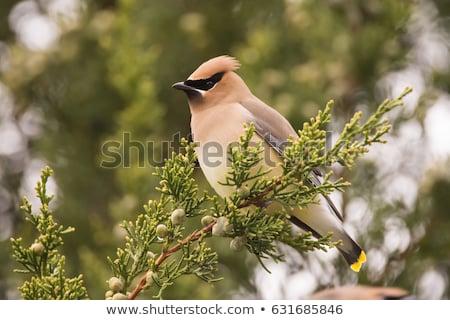 cedro · albero · uccello · colore · naturale · orizzontale - foto d'archivio © rhamm