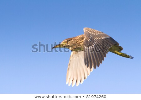 Immature black-crowned night heron, Nycticorax nycticorax, in green, Japan stock photo © shihina
