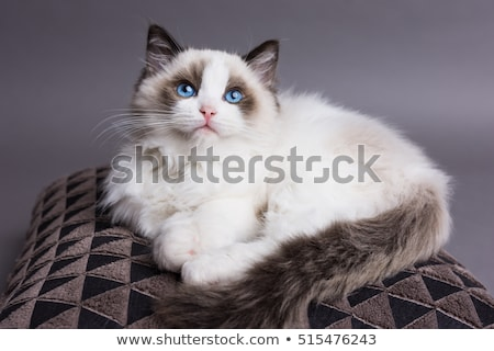 Ragdoll Cat Stock photo © gregory21