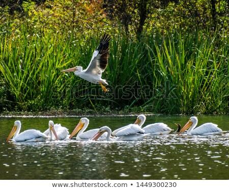 American White Pelican Close up Stock photo © mybaitshop