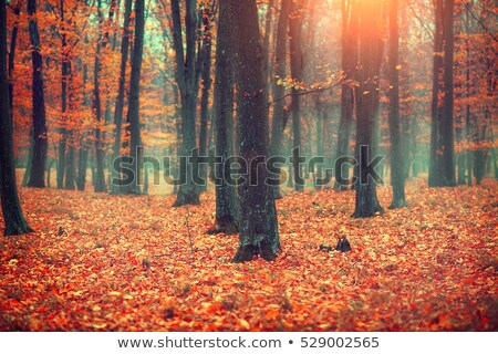 туманный · лес · рассвета - Сток-фото © nature78