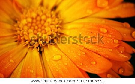 görüntü · makro · sarı · çiçek · bitki · yaprakları - stok fotoğraf © rbiedermann