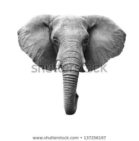 Fej elefánt mutat agyar száj trombita Stock fotó © JFJacobsz