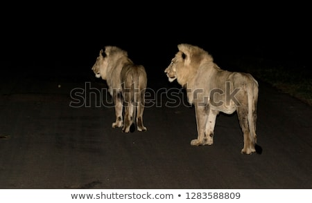 Jonge mannelijke leeuw groene hoofd wachten Stockfoto © AchimHB