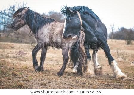 couple · permanent · domaine · chevaux · femme · vert - photo stock © compuinfoto