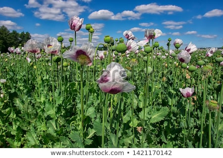 czech poppy field Stock photo © jonnysek