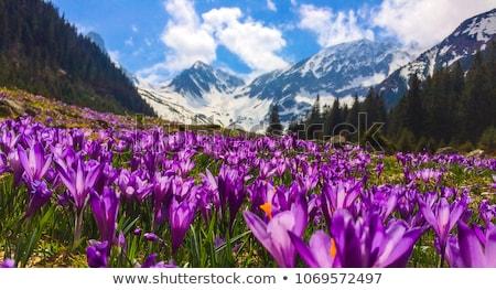Açafrão flores montanhas ensolarado prado primeiro Foto stock © Kotenko