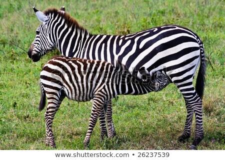 Mother nursing foal zebra, Equus quagga. Stock photo © kasto