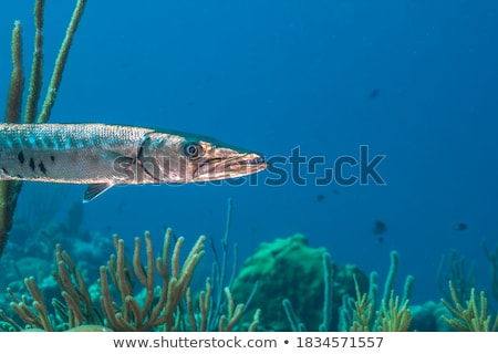 Barracuda - Sphyraena genus Stock photo © bluering