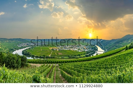 green vineyards at moselle valley in summer stock photo © meinzahn