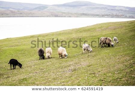 herd of sheeps grazing on a meadow stock photo © meinzahn