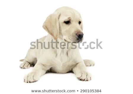 Stock photo: puppy labrador retriever looking sideways in a white studio
