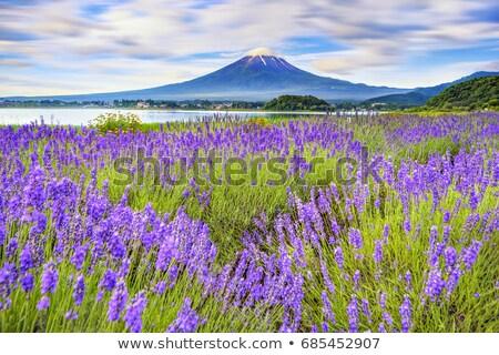 ラベンダー 穏やかな 表示 富士山 花 ストックフォト © craig