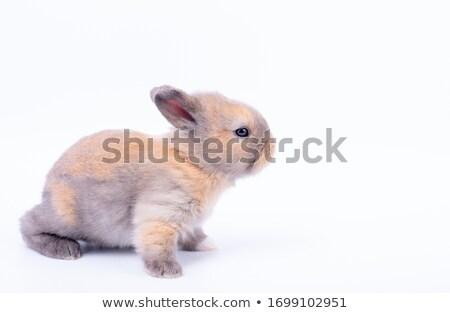 мало · Bunny · белый · свет · серый - Сток-фото © liolle
