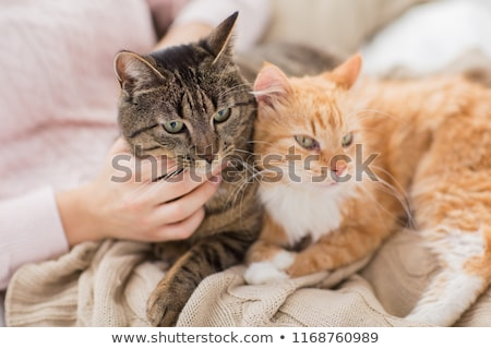 red tabby cat lying on blanket at home in winter Stock photo © dolgachov